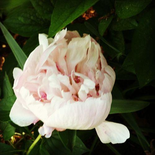 Peony blooming