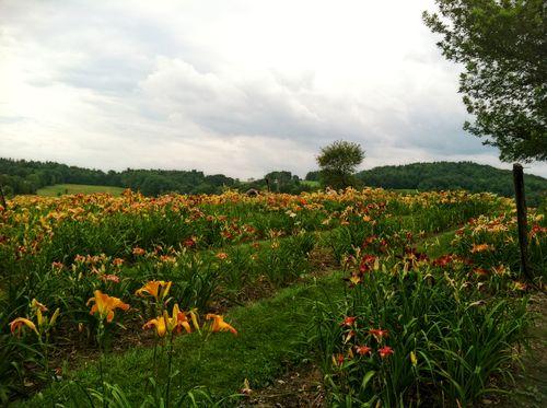Daylilies 2013