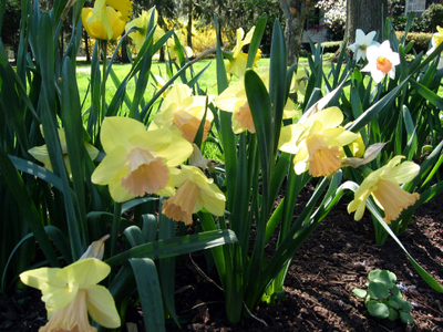 May_daffodils_3