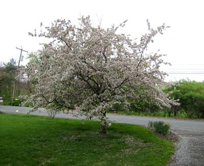 Crabapple_tree