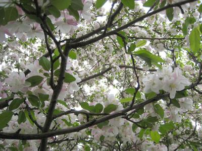 Crabapple_tree3