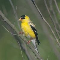 Goldfinch5_1